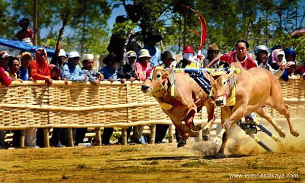 madura traditional bull race