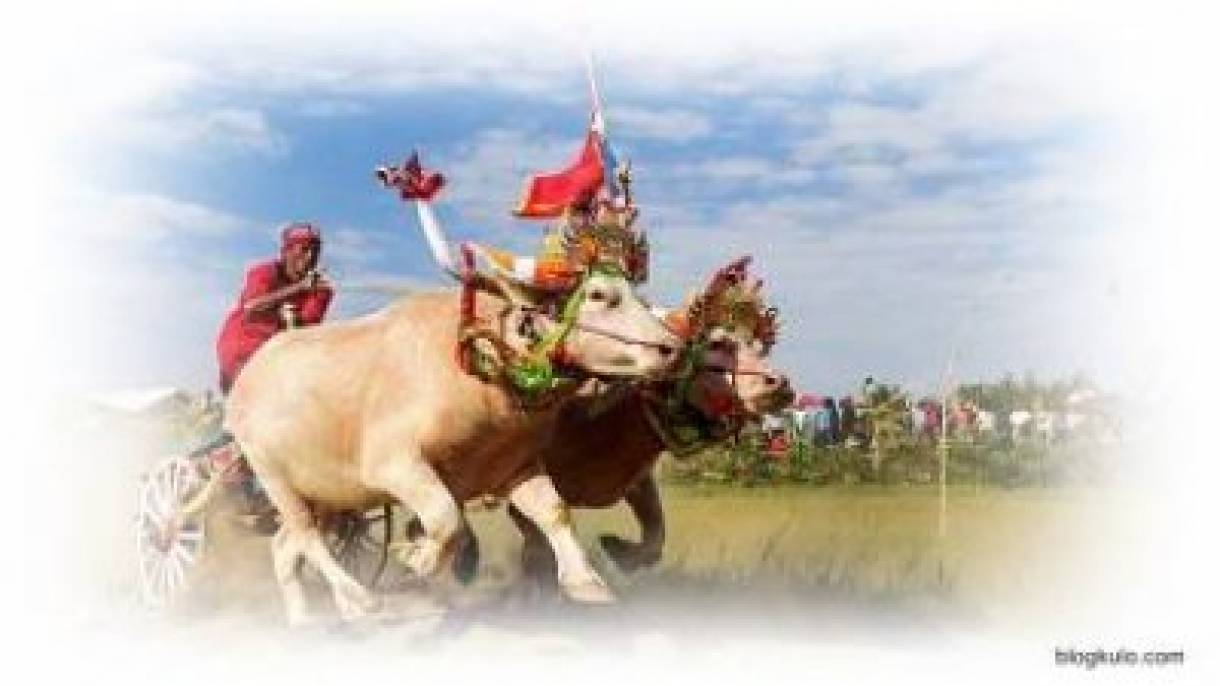"""Makepung Jembrana"", A Well-known and Unique Tradition of Buffalos Race in Bali Indonesia"